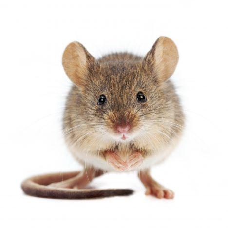 Anti-Mouse Antibody