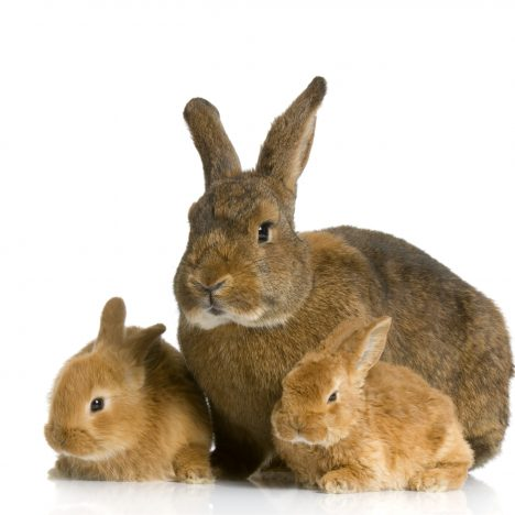 Anti-Rabbit Antibody