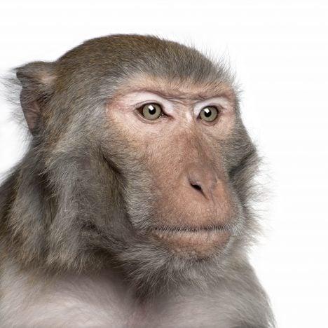 Anti-Rhesus Monkey Antibody
