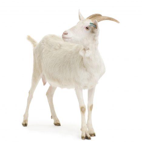 Goat Antibody