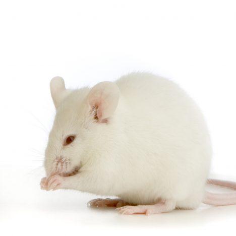 Mouse Antibody