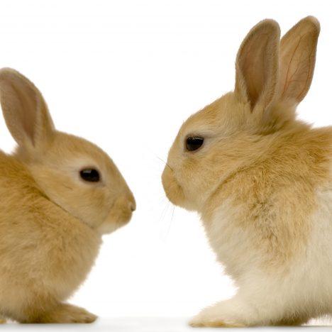 Rabbit Antibody