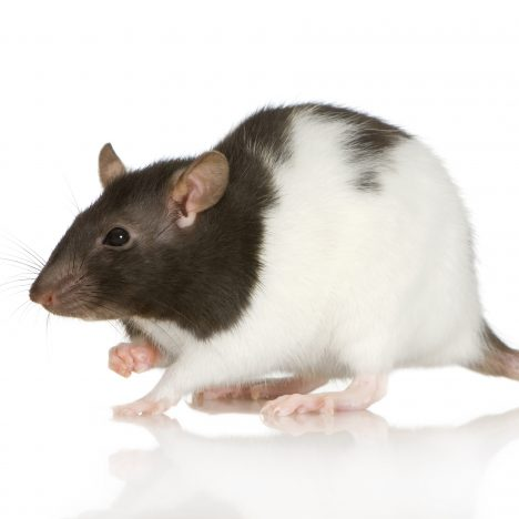 Rat Antibody